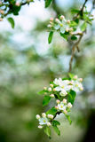 Blossom of apple tree Royalty Free Stock Photography