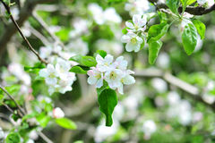 Blossom apple tree Royalty Free Stock Image