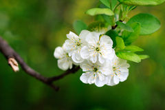 Blossom apple tree Stock Photography