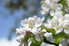 Blossom of an Apple-tree Royalty Free Stock Photos