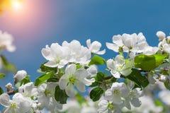 Blossom apple tree royalty free stock photos