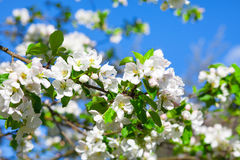 Blossom apple tree stock images