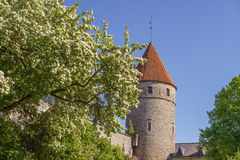 Blossom apple tree against medieval tower Stock Images
