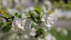 Blossom apple tree. Beautiful flowers on the apple tree, spring flowers. stock video footage