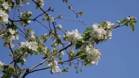 Blossom apple tree. Beautiful flowers on the apple tree, spring flowers - Stock Video stock footage