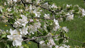 Blossom apple tree. Beautiful flowers on the apple tree, spring flowers - Stock Video. Beautiful flowers on the apple tree, spring flowers stock footage