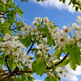 Blossom apple tree. Stock Images