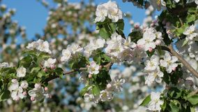 Blossom apple tree stock footage