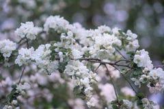 Blossom apple tree Stock Photos