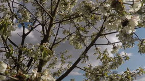 Blossom apple tree with bumblebee stock video