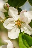 Blossom of apple tree flower in a spring Stock Photos