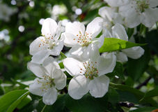 Blossom apple-tree flowers Royalty Free Stock Photography