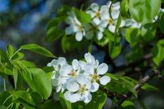 Blossom of apple tree. Royalty Free Stock Photos