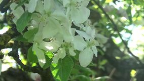 Blossom apple tree flowers springtime. Blossom green apple tree flowers springtime view stock video
