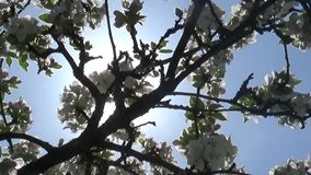 Blossom apple tree flowers springtime sun haze. View stock video footage