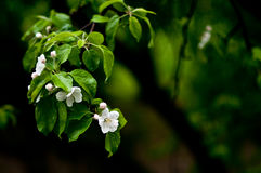Blossom Apple Tree. On green background Royalty Free Stock Photos