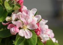 Blossom of apple tree, Malus Royalty Free Stock Image