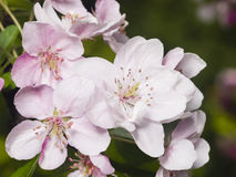 Blossom of apple tree with pink flowers on bokeh background, macro, selective focus, shallow DOF Stock Photography