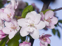 Blossom of apple tree with pink flowers on bokeh background, macro, selective focus, shallow DOF Stock Images