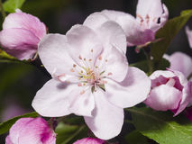 Blossom of apple tree with pink flowers on bokeh background, macro, selective focus, shallow DOF Royalty Free Stock Photography