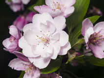 Blossom of apple tree with pink flowers on bokeh background, macro, selective focus, shallow DOF Royalty Free Stock Images
