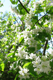 Blossom apple tree in spring Royalty Free Stock Images