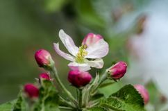 Blossom. Of apple tree at spring. Close up Royalty Free Stock Image