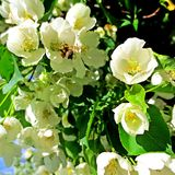 Blossom of an apple-tree Royalty Free Stock Image