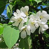 Blossom of an apple-tree Stock Photography
