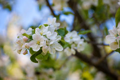 Blossom apple tree in spring day Royalty Free Stock Image