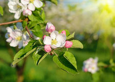 Blossom apple tree in a spring garden in sunlight (backgrounds - Stock Image