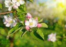 Blossom apple tree in a spring garden in sunlight (backgrounds - Royalty Free Stock Photos