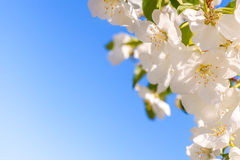 Blossom apple tree. White spring flowers closeup. Copy space. Blossom apple tree. White spring flowers closeup on a background of blue sky. Rectangular royalty free stock photos