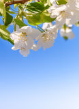 Blossom apple tree. White spring flowers closeup. Copy space. Blossom apple tree. White spring flowers closeup on a background of blue sky. Rectangular vertical stock image