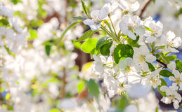 Blossom apple tree. White spring flowers closeup. Square frame stock photography
