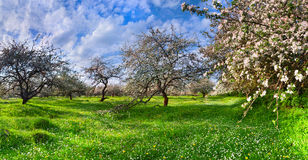 Blossom apple-trees garden Royalty Free Stock Image