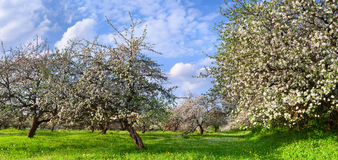 Blossom apple-trees garden Royalty Free Stock Photos