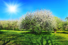 Blossom apple-trees garden at the spring. Stock Photos