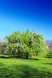Blossom apple-trees garden at the spring. Stock Images