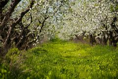 Blossom apple-trees garden at the spring. Sunny day Royalty Free Stock Photo