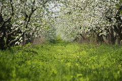 Blossom apple-trees garden at spring. Sunny day. Blossom apple-trees garden at the spring. Sunny day stock photography