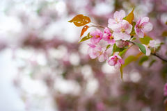 Blossom of apple trees Royalty Free Stock Image