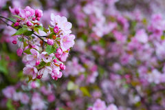 Blossom of apple trees Royalty Free Stock Photography