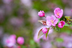 Blossom of apple trees Stock Photos