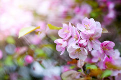 Blossom of apple trees Royalty Free Stock Photos