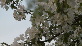 Blossom of apple trees in spring stock footage