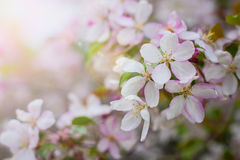 Blossom of apple trees Royalty Free Stock Images