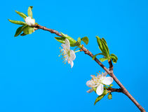 Blossom apple twig Stock Image