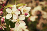 Blossom apples garden in the Spring Stock Photos