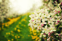 Blossom apples garden in the Spring stock images